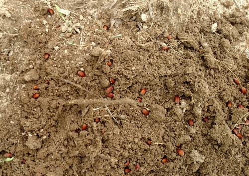 Adult Asiatic garden beetles in ground