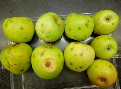 apple maggot stings