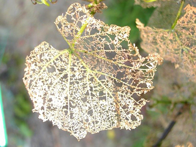 grape leaf chafer damage