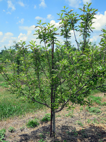 Mouse-girdled apple tree