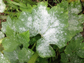 Watch For Powdery Mildew On Vine Crops Msu Extension