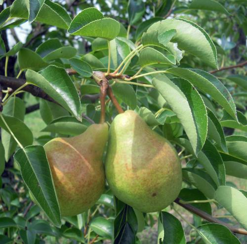 Pears ripen off the tree