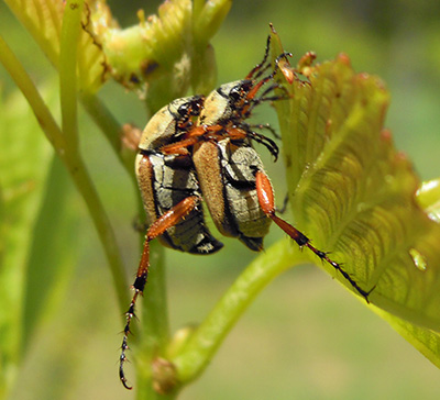 Rose chafers mating