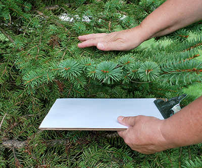 The simplest way to scout for adult and juvenile mites is to shake or tap a branch over a scouting board or piece of paper.