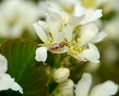 Close-up of saskatoon sawfly adult.