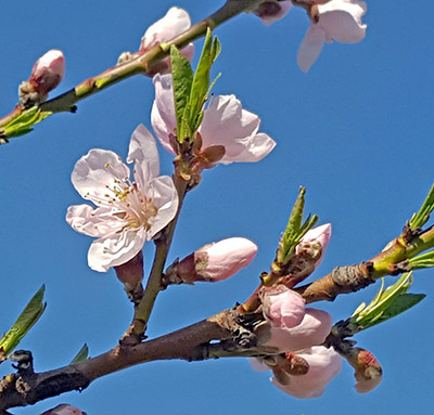 Showy peach bloom