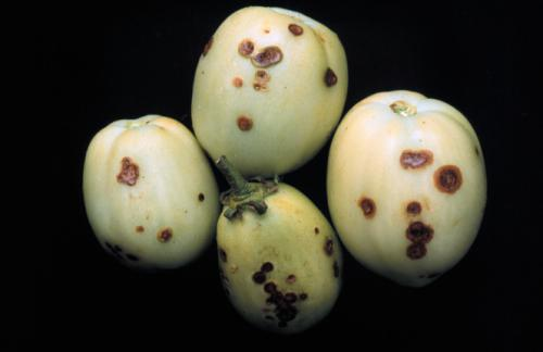 Bacterial spot on tomato fruits