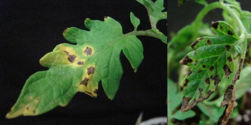 Bacterial spot on tomato leaves: dark spots with a yellow halo; and dark, blotchy spots.