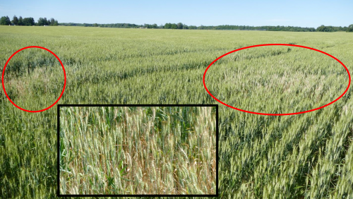 Wheat field following pollination