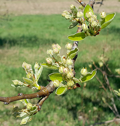 Bartlett pears at white bud