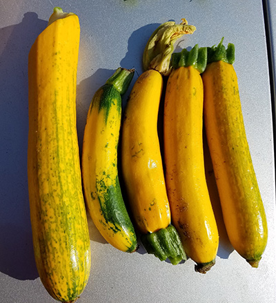 Yellow zucchini with watermelon mosaic virus
