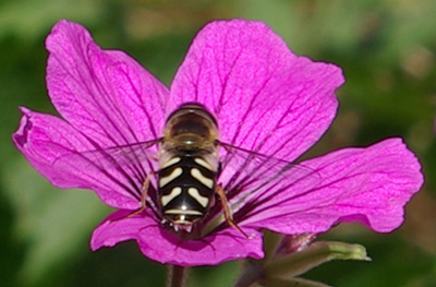 Hover fly on geranium