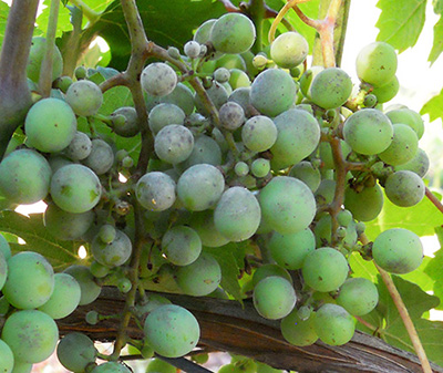 Powdery mildew on grape berries