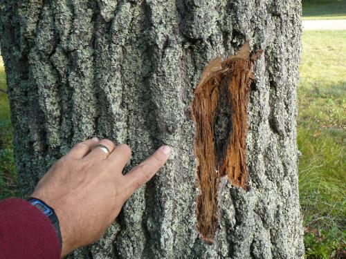 DEC establishes oak wilt quarantine district in Middlesex