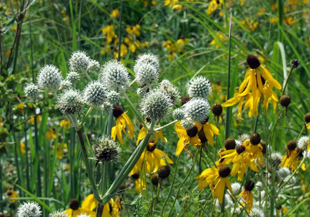 Prairie native rattlesnake master (with greenish-white flowers) in this mid-summer garden.