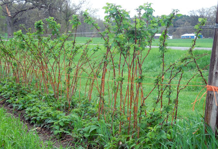 Red raspberry growth