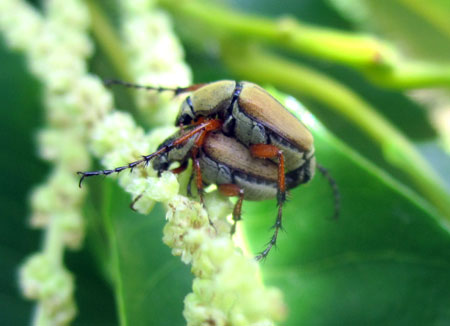 Rose chafer mating