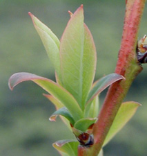 Growth Stages - Blueberries