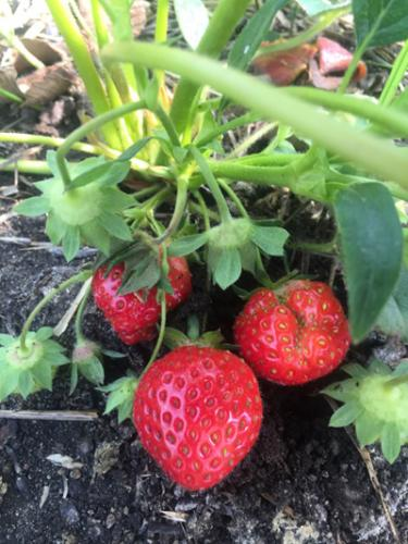 Strawberries in hoop house