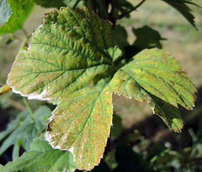 damage to hop leaves caused by twospotted spidermite feeding