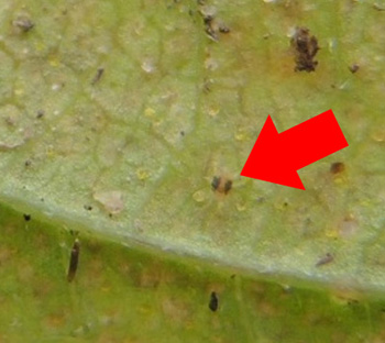 twospotted spidermite as seen with naked eye