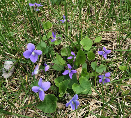 Wild violet flowering in turf