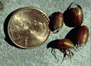 Asiatic garden beetle adults compared to a penny.