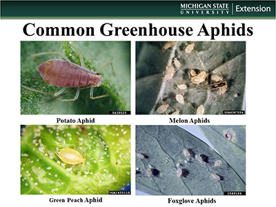 Graphic of different aphid species
