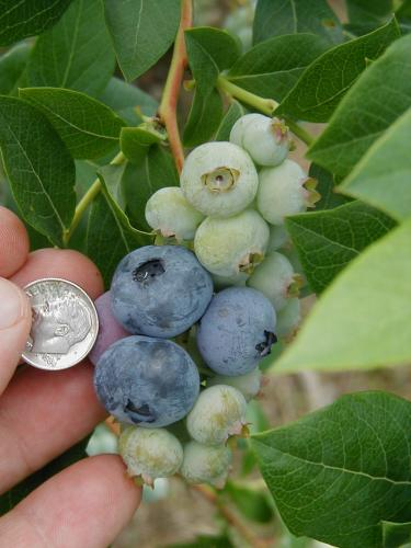 Early ripening blueberry fruit