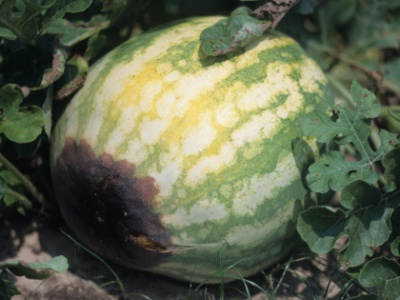 blossom end rot on watermelon