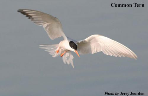 Common tern shown flying