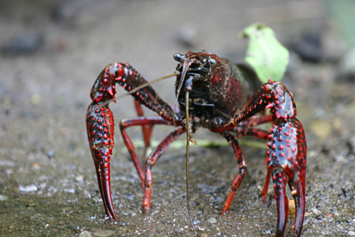 red swamp crayfish is shown