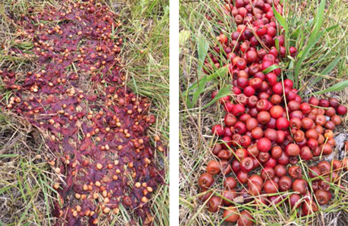 Crushed and intact fruit on day 5 side by side.