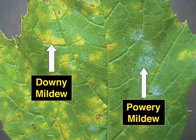 Downy mildew vs powdery mildew