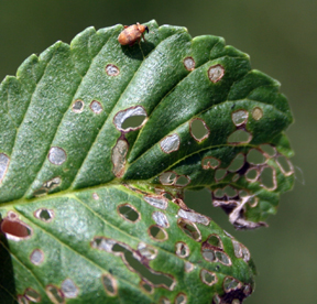 Elm flea weevil damage