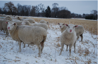 Healthy ewes grazing cover crop mixtures through the snow