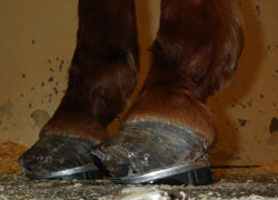 Hooves of a horse with laminitis.