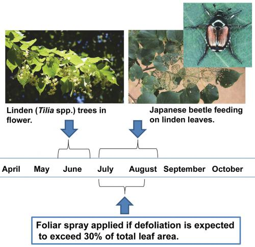 Managing Japanese beetles on linden trees info graphic.