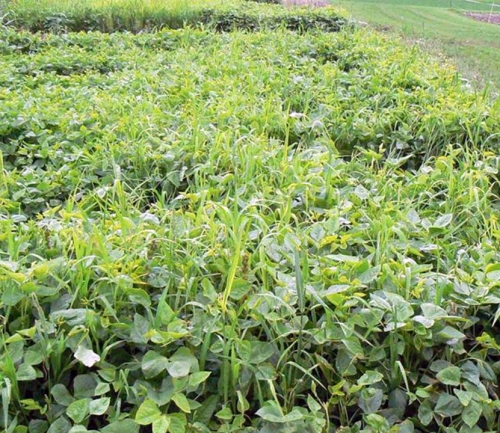 Mid-summer planting of cowpea
