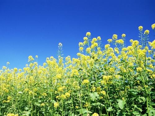 Mustard as a cover crop   MSU Extension
