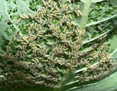Moth larvae feeding.