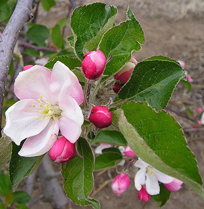 normal apple cluster bloom