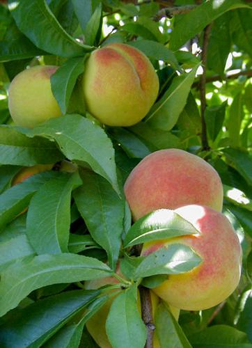 Peaches in tree.