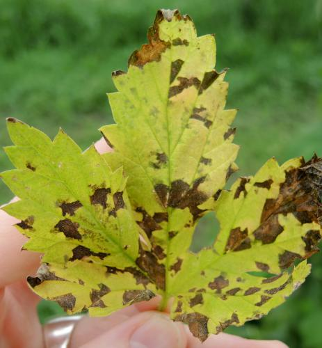 Lesions on leaf