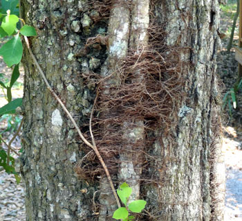 Poison ivy roots