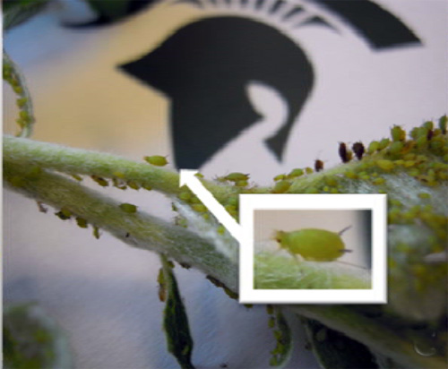 Green apple aphid