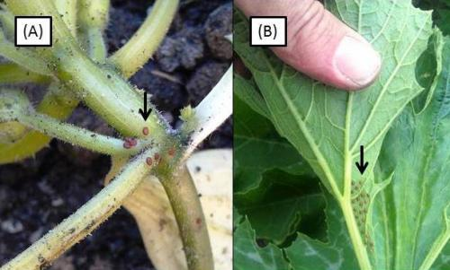 Squash vine borer and bug