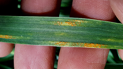 Stripe rust on wheat