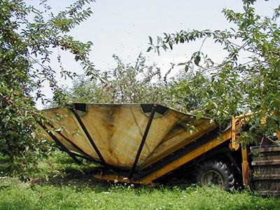 Tart cherries being harvested