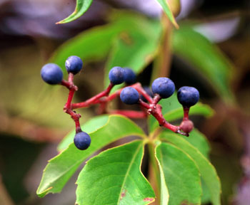 Virginia creeper blueberries